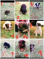 Border Collie Puppies for sale in Lubbock, TX 79415, USA. price: NA