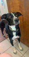 Border Collie Puppies for sale in Youngstown, OH 44515, USA. price: NA