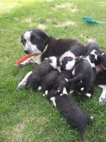 Border Collie Puppies for sale in McDermitt, NV 89421, USA. price: NA