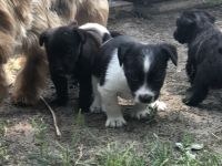 Border Collie Puppies for sale in 725 Berlin Ave, Mishawaka, IN 46544, USA. price: NA
