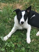 Border Collie Puppies for sale in Moscow, ID, USA. price: NA