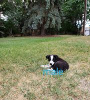 Border Collie Puppies for sale in Buhl, ID 83316, USA. price: NA