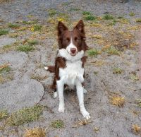 Border Collie Puppies for sale in Sunrise, FL, USA. price: NA