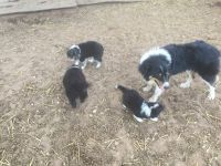 Border Collie Puppies for sale in Salinas, CA 93907, USA. price: NA
