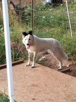 Border Collie Puppies for sale in Brush Prairie, WA 98606, USA. price: NA
