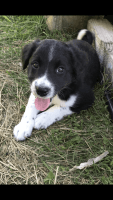 Border Collie Puppies for sale in Pierz, MN 56364, USA. price: NA