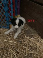 Border Collie Puppies for sale in Fosston, MN 56542, USA. price: NA