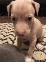 Border Collie Puppies for sale in Somerset, KY, USA. price: NA