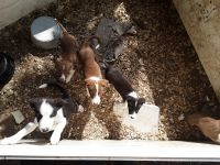 Border Collie Puppies for sale in Carthage, IL 62321, USA. price: NA