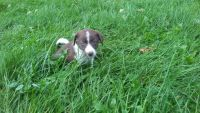 Border Collie Puppies for sale in Holley, NY 14470, USA. price: NA