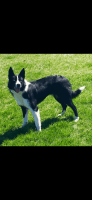 Border Collie Puppies for sale in Amsterdam, OH 43903, USA. price: NA