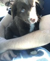 Border Collie Puppies for sale in Antelope, CA, USA. price: NA