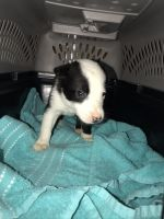 Border Collie Puppies for sale in Amarillo, TX, USA. price: NA