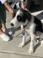 Border Collie Puppies for sale in Star, ID 83669, USA. price: NA