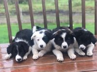 Border Collie Puppies for sale in Chase, MI 49623, USA. price: NA