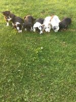 Border Collie Puppies for sale in Richville, NY, USA. price: NA