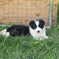 Border Collie Puppies for sale in Berwick, PA, USA. price: NA