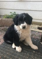 Border Collie Puppies for sale in Squaw Valley, CA 93675, USA. price: NA