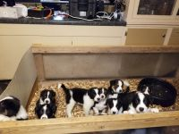 Border Collie Puppies for sale in Hawkins, WI 54530, USA. price: NA