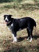 Border Collie Puppies for sale in Mayflower, AR, USA. price: NA