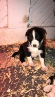 Border Collie Puppies for sale in Reinbeck, IA 50669, USA. price: NA