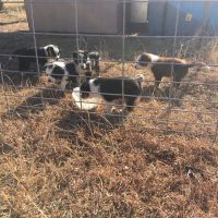 Border Collie Puppies for sale in Round Mountain, TX 78663, USA. price: NA