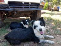Border Collie Puppies for sale in Guthrie, OK 73044, USA. price: NA