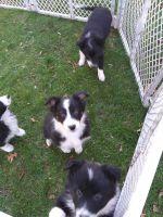 Border Collie Puppies for sale in Buena Vista Rd, Vanderbilt, PA 15486, USA. price: NA