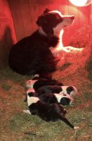 Border Collie Puppies for sale in Monticello, MN, USA. price: NA