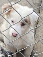 Border Collie Puppies for sale in Sunnyside, WA, USA. price: NA