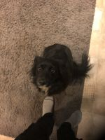Border Collie Puppies for sale in Riverside, CA, USA. price: NA