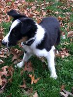 Border Collie Puppies for sale in 241 E Central Ave, South Williamsport, PA 17702, USA. price: NA