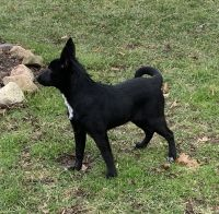 Border Collie Puppies for sale in Hilliard, OH, USA. price: NA