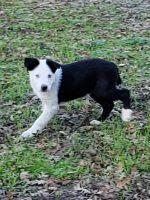 Border Collie Puppies for sale in Visalia, CA 93292, USA. price: NA