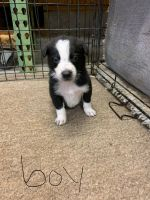 Border Collie Puppies for sale in Newton Grove, NC 28366, USA. price: NA