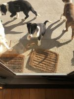 Border Collie Puppies for sale in Assonet, Freetown, MA 02702, USA. price: NA