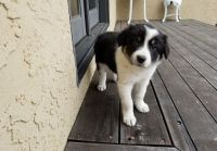 Border Collie Puppies for sale in Hansville, WA, USA. price: NA