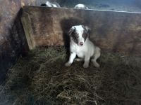 Border Collie Puppies for sale in I-29, Watertown, SD, USA. price: NA