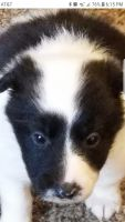 Border Collie Puppies for sale in Charleston, WV, USA. price: NA