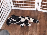 Border Collie Puppies for sale in Fort Lauderdale, FL 33325, USA. price: NA