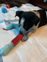 Border Collie Puppies for sale in Chelsea, MI 48118, USA. price: NA