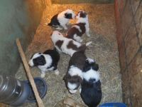 Border Collie Puppies for sale in Randolph, VT, USA. price: NA