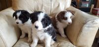 Border Collie Puppies for sale in Allendale Charter Twp, MI, USA. price: NA