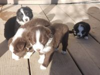 Border Collie Puppies for sale in Farmington, NM, USA. price: NA