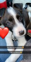 Border Collie Puppies for sale in Fort Wayne, IN, USA. price: NA