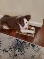 Border Collie Puppies for sale in Calistoga, CA 94515, USA. price: NA