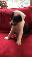 Border Collie Puppies for sale in Vancouver, WA 98684, USA. price: NA