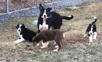 Border Collie Puppies for sale in Breezewood, PA, USA. price: NA