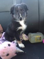 Border Collie Puppies for sale in Red Creek, NY 13143, USA. price: NA