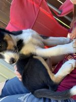 Border Collie Puppies for sale in Prineville, OR 97754, USA. price: NA